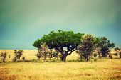 Savanna landscape in Africa, Serengeti, Tanzania. Kigelia called Sausage Tree
