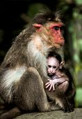 Small baby monkey sitting on the arms of his mother (Macacus mulatta also called the rhesus monkey)