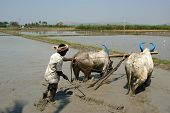 Farmer treats rice field buffaloes