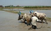 Farmer treats rice field buffaloes