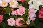Camellia, flowers, exhibition