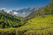 Teeplantagen In Munnar, Kerala, Indien