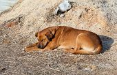 The Big Brown Stray Dog Sleeping On The Ground