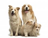 Border collie family, father, mother and puppies, sitting in front of white background