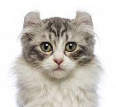 Постер, плакат: Американский Curl котенка 3 месяца глядя на камеру перед белый фон