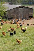 France, Poultry Farming In Brueil En Vexin