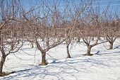 An apple orchard lying dormant under the snows of winter.