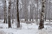 Birch Grove, Cloudy Winter Day