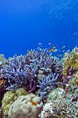 stock photo of fire coral  - coral reef with blue hard corals at the bottom of red sea in egypt - JPG