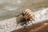 picture of shield-bug  - Extreme Macro Details Of A Red Striped Shield Bug Or Stink Bug - JPG