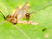 Brown Ants Feeding On Honeydew
