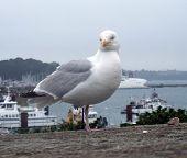 Gull At Saint-malo