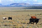 Cattle Grazing in Southern Utah