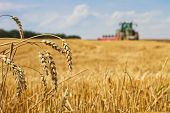 stock photo of plowing  - Last straws on field after harvest and tractor plowing focus on ears of wheat - JPG