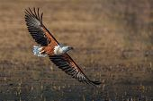 foto of fish-eagle  - African fish eagle flying showing it - JPG