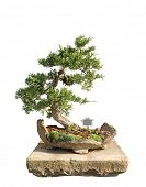 picture of juniper-tree  - Bonsai tree with white background  - JPG