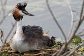 stock photo of great crested grebe  - Great Crested Grebe sitting on eggs on the nest with young chick