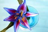 picture of stamen  - A blooming cocktail lily - JPG
