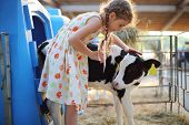 stock photo of calf cow  - Happy little girlcaresses small calf at cow farm at summer day - JPG
