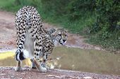 Cheetah Wild Cat Drinking