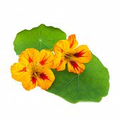 image of nasturtium  - Nasturtium or Tropaeolum flowers isolated on white background - JPG