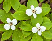Bunchberry Flowers Cornus Canadensis Blooming