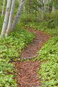 Taiga Forest Trail Lined With Bunchberry Flowers
