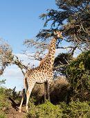 Tall African Giraffe Looking Down At Camera