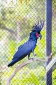 image of palm cockatoo  - The Black Palm Cockatoo at a zoo in Thailand - JPG