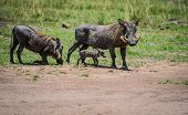 Warthogs with baby