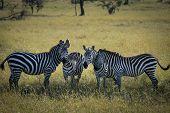 Zebra Posse