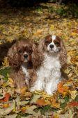 Cavaliers Herbstszenen