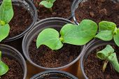 Pumpkin Seedling In Pot