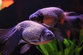 stock photo of freshwater fish  - Two dark violet fish in aquarium with green background  - JPG
