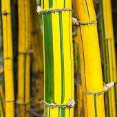 Yellow and green bamboo