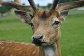 Deer Close-Up poster