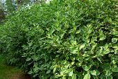 Cultured Green Ficus Trees Of Benjamin