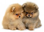 stock photo of pomeranian  - two pomeranian puppy the age of 1 - JPG