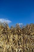 row of dried corn stalks and blue sky