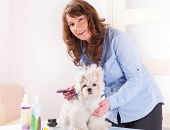 stock photo of grooming  - Smiling woman grooming a dog purebreed maltese - JPG
