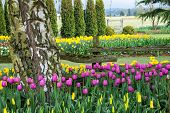 Tulip And Daffodil Flower Garden
