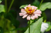 picture of zinnias  - Close up of light pink zinnia  - JPG