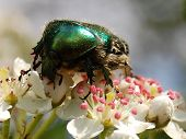 bug (chafer Golden)