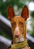 Portrate of Pharaoh hound