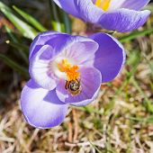 Bee Pollinate Crocus
