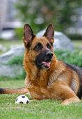 stock photo of shepherd dog  - The German Shepherd Dog  - JPG