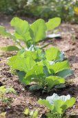 Seedling Of Brassica.