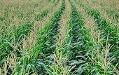 Flowering Corn Field