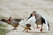 domestic geese fighting outdoor