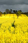 Canola Or Rapeseed Crop